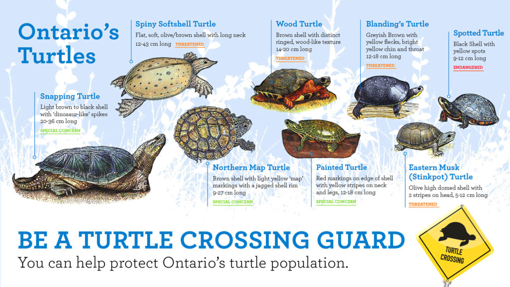 Types of turtles in Ontario